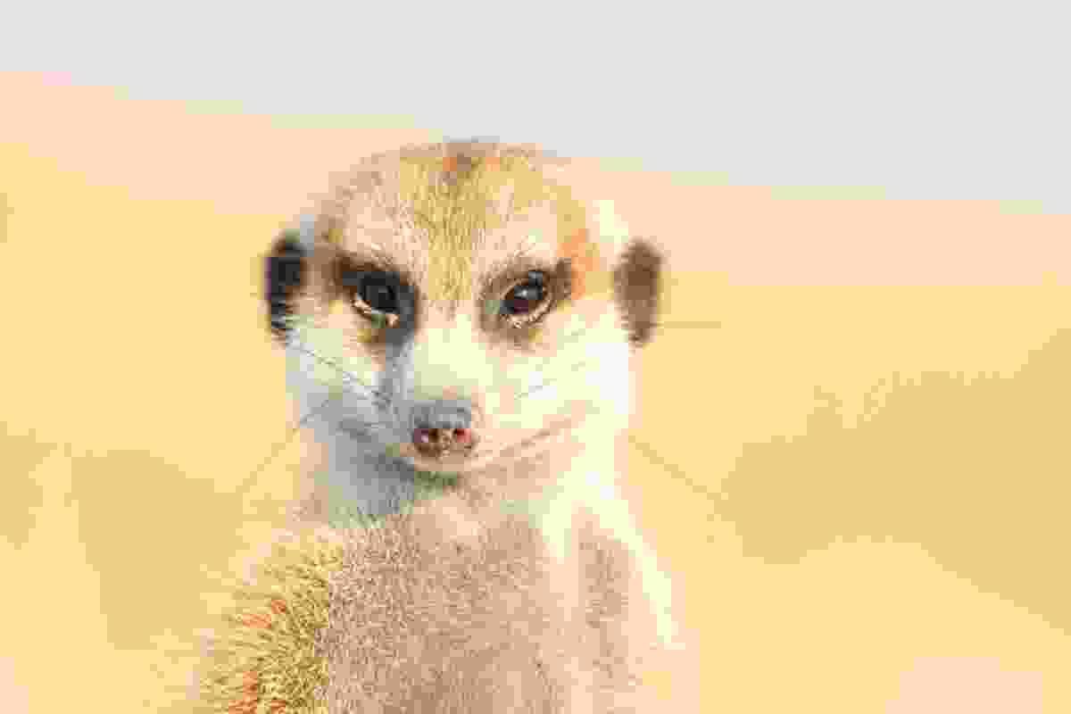 Meerkat on the Makgadikgadi Pans, Botswana (Graeme Green)