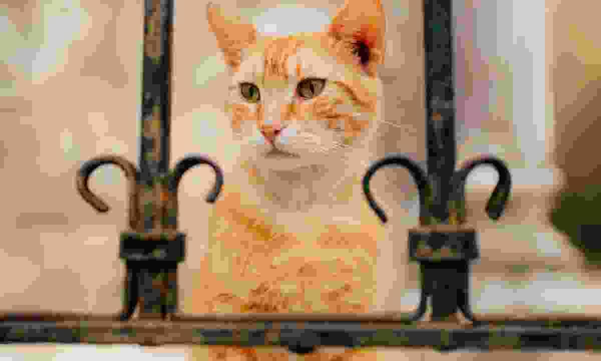 A cat in Kotor (Dreamstime)