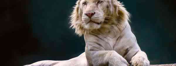 A liger resting on a branch (Shutterstock)