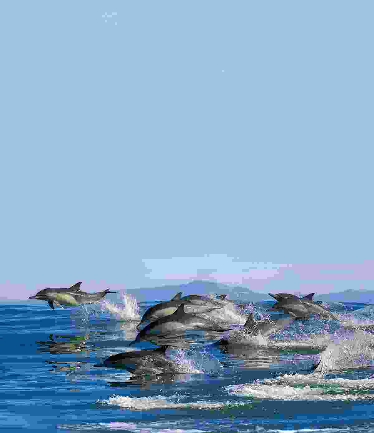 Dolphins swimming in the wild (Shutterstock)