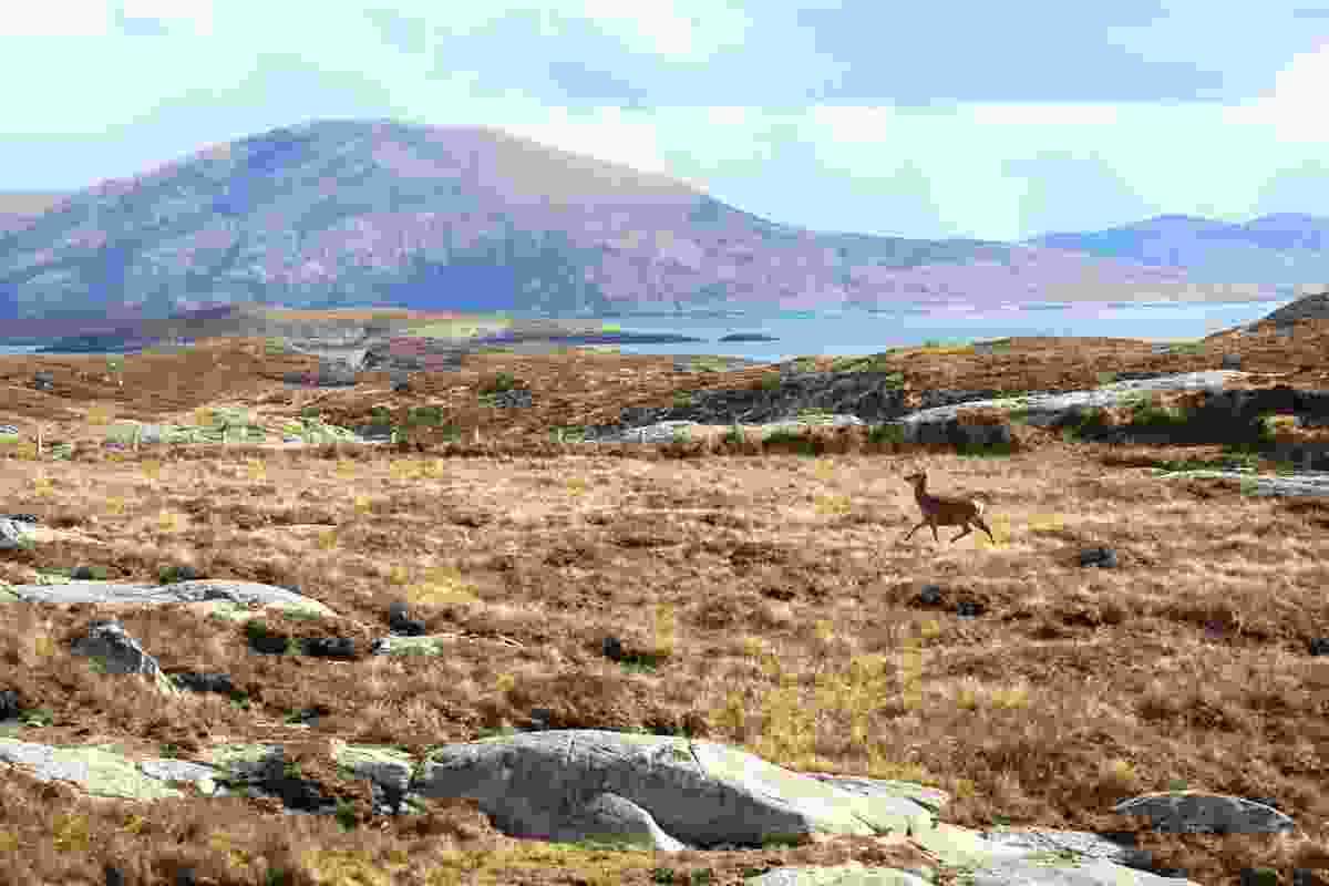 Red deer runs across the hills of North Harris (Graeme Green)