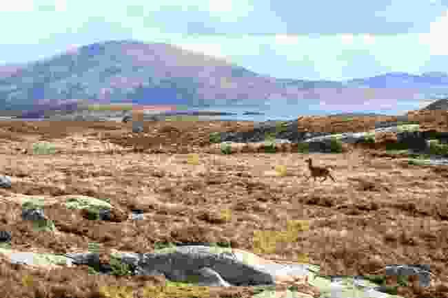 Red deer runs across the hills of North Harris (Graeme Green)
