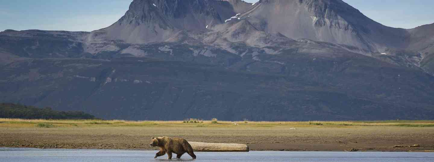 Bear searching for salmon in Alaska (Dreamstime)