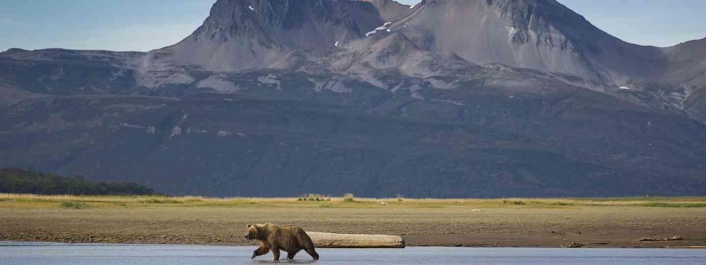 Bear searching for salmon in Alaska (Dreamstime)