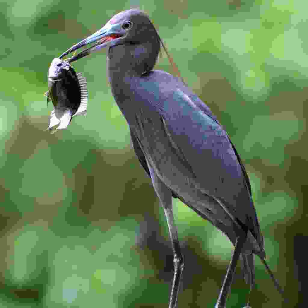 Little blue heron (Jason Boeckman)