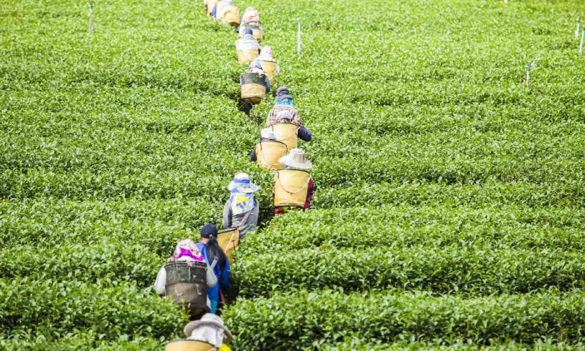 Tea plantations (Shutterstock)