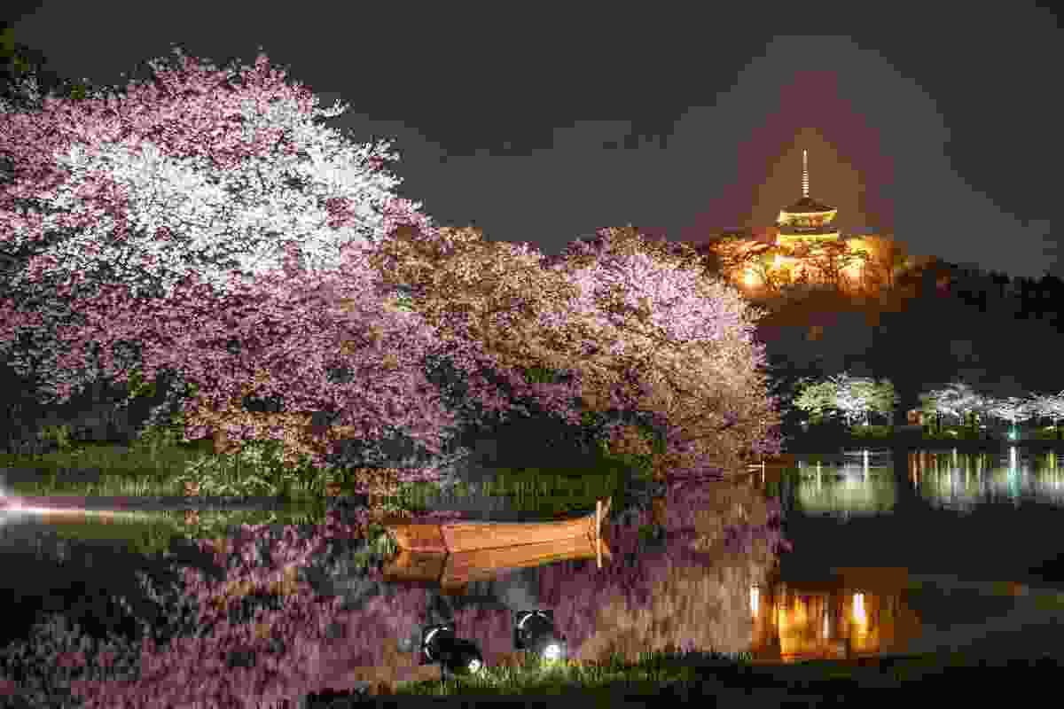Cherry blossoms at night Sankei-en Garden (Shutterstock)