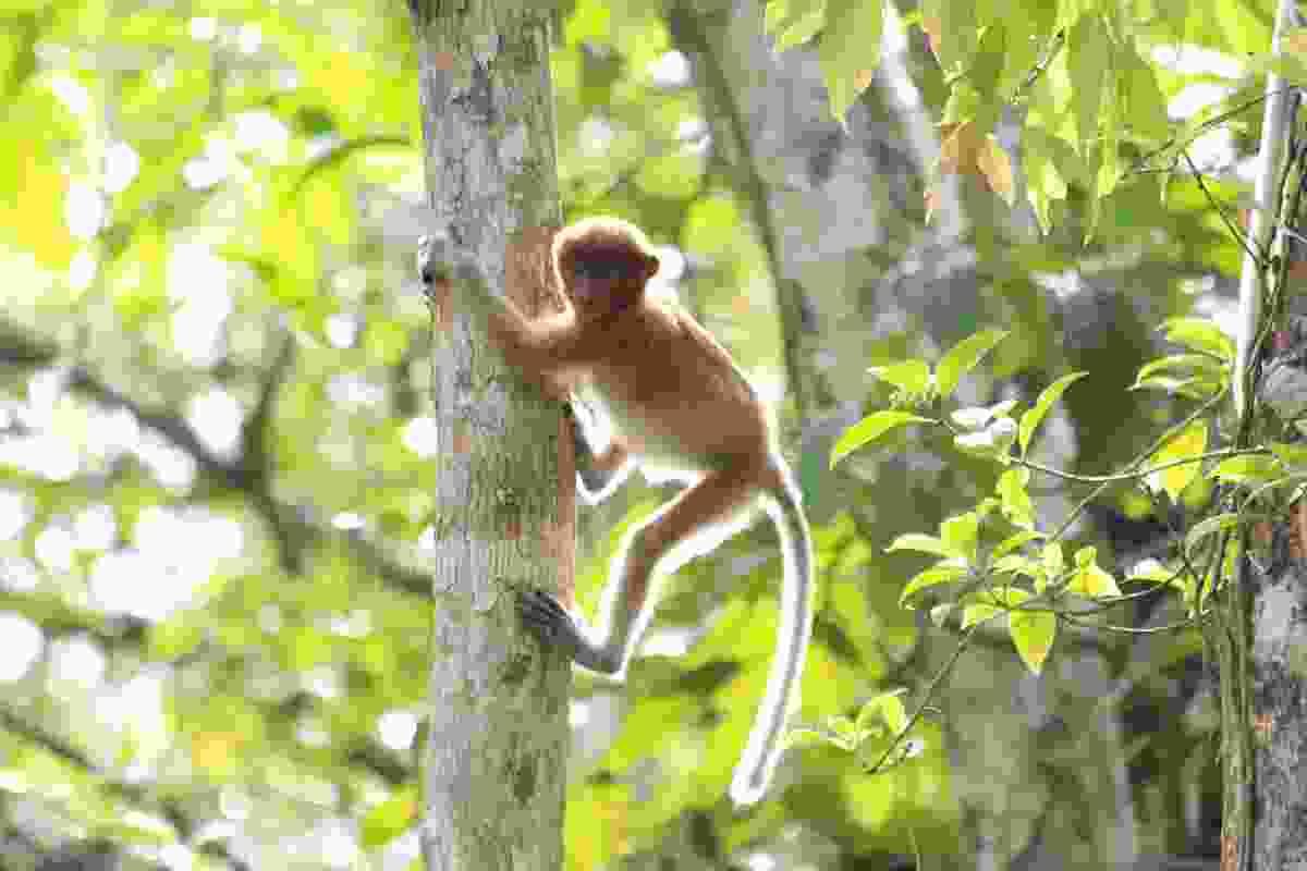 Back-lit long-tailed macaque in Bako NP, Sarawak, Malaysia (Graeme Green)