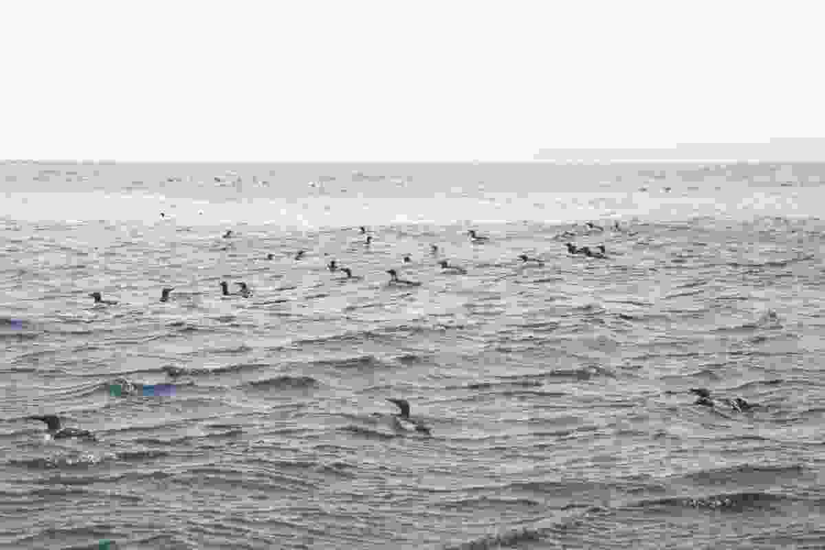 Razorbills in the ocean around the Shiant Islands (Graeme Green)
