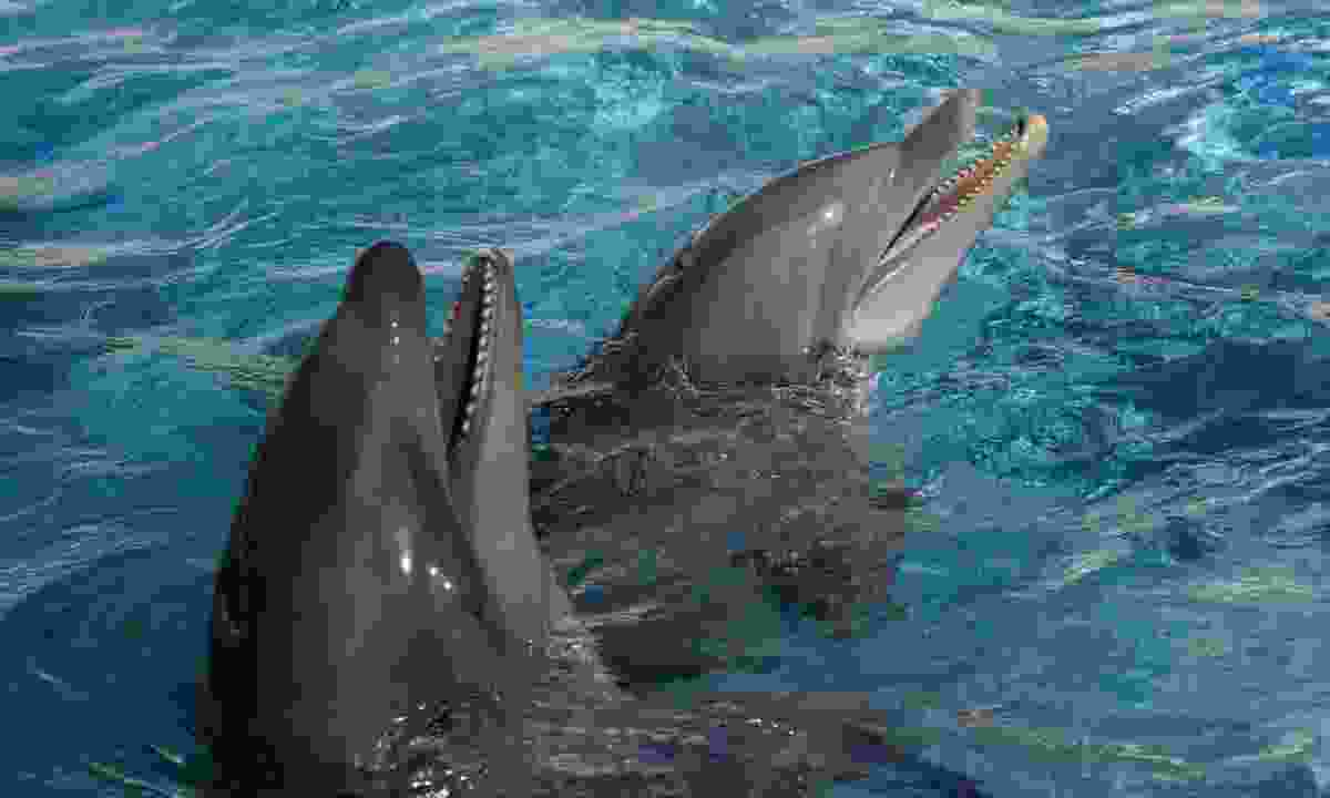 A wholphin (left) and a bottle nose dolphin (Shutterstock)