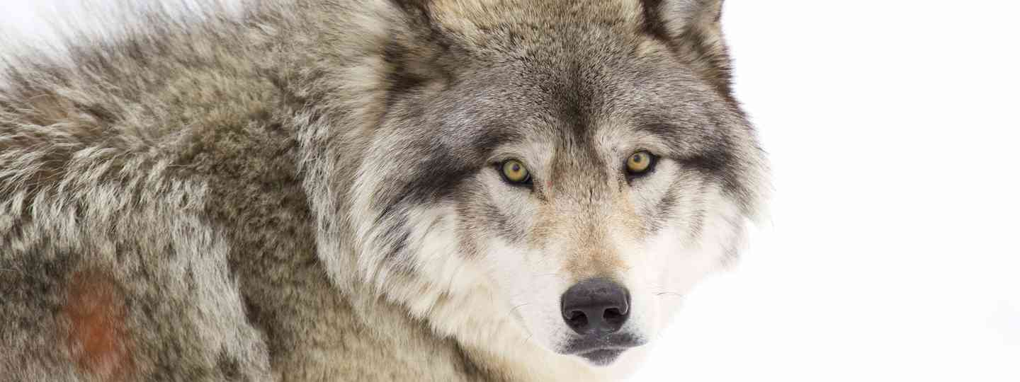 Close-up of a timber wolf (Dreamstime)