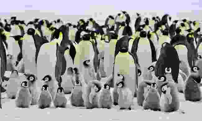 Emperor penguins in Antarctica (Dreamstime)
