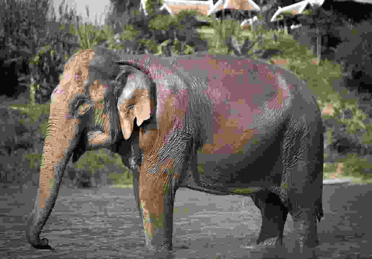 An elephant at MandaLao Sanctuary (Shutterstock)