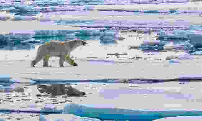 Polar bear in Svalbard (Nicky Souness)