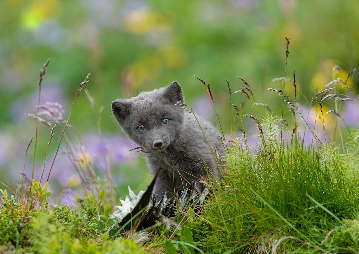 Arctic fox, Hornstrandir, Iceland, (Deborah Dunderdale)