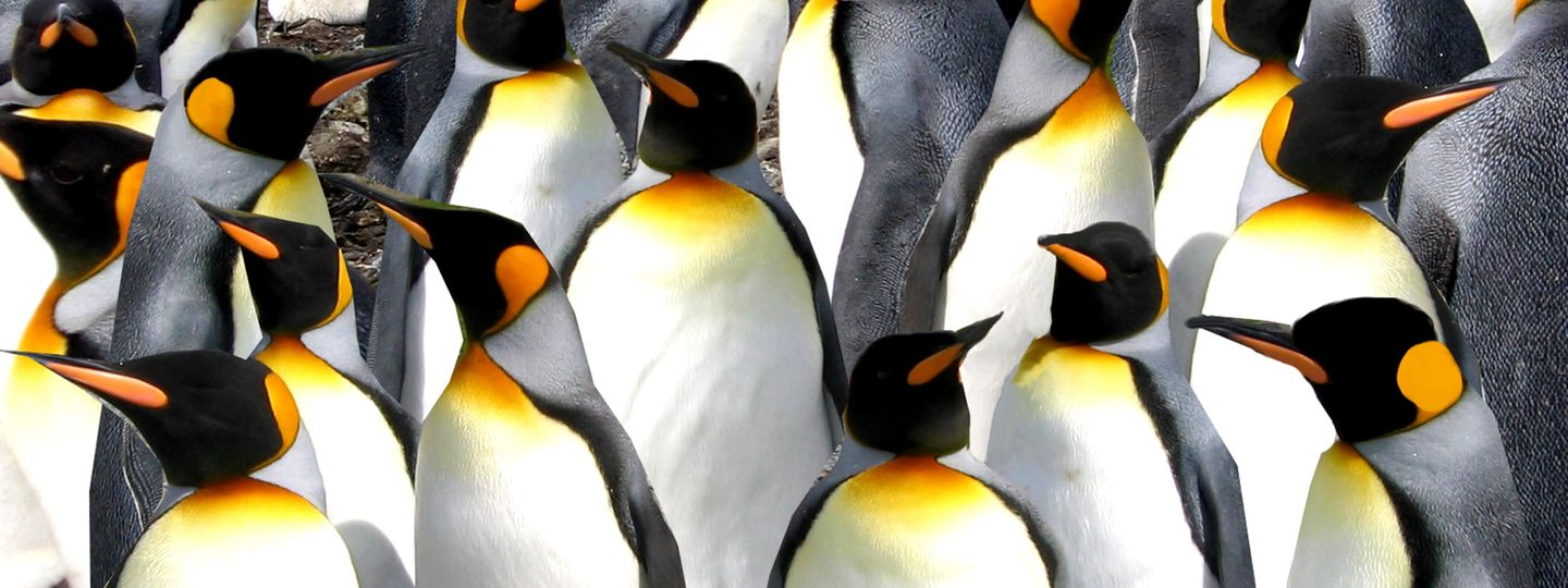Colony of King Penguins on Macquarie Subantarctic Island (Dreamstime)