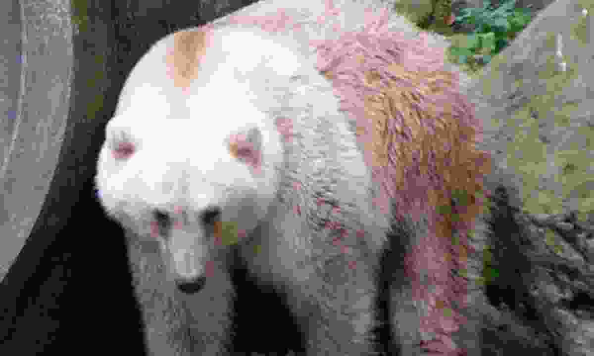 A grolar bear. Also known as a pizzly (Creative Commons: Corradox)