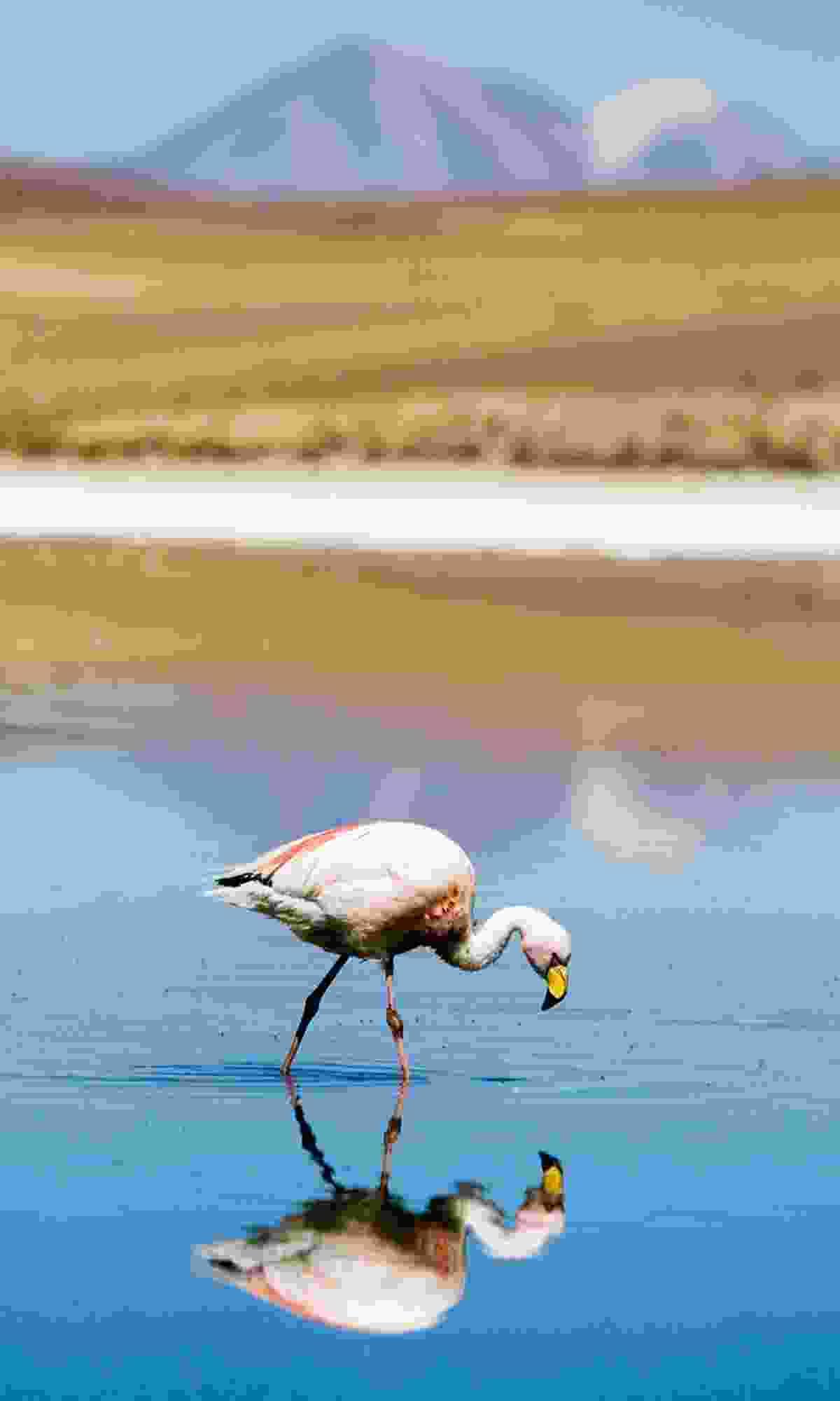 Flamingos at Laguna Colorada