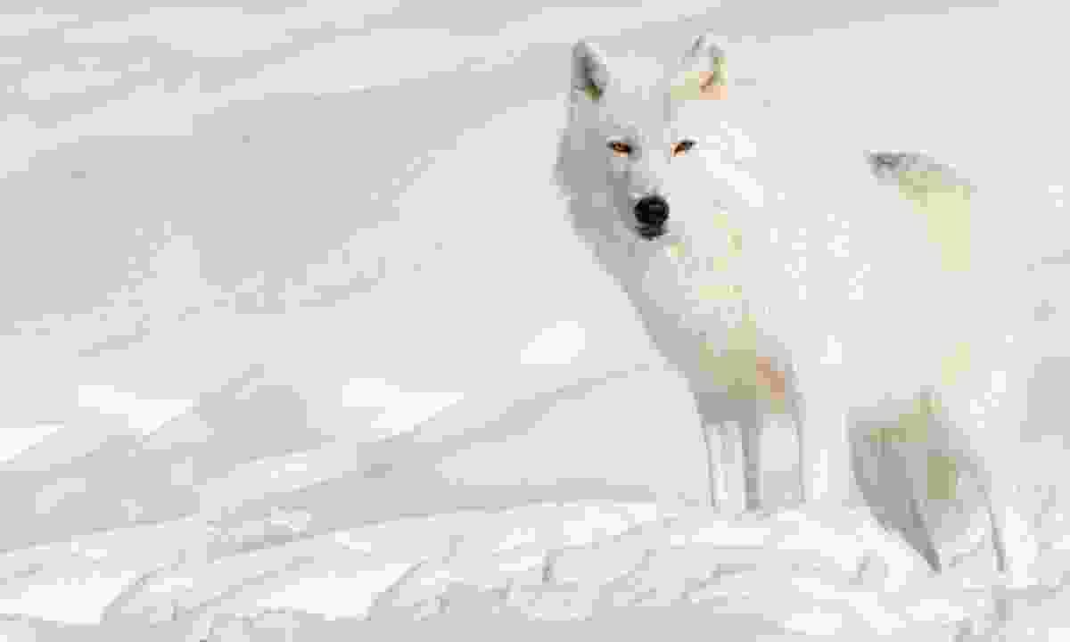 Arctic wolf (Dreamstime)