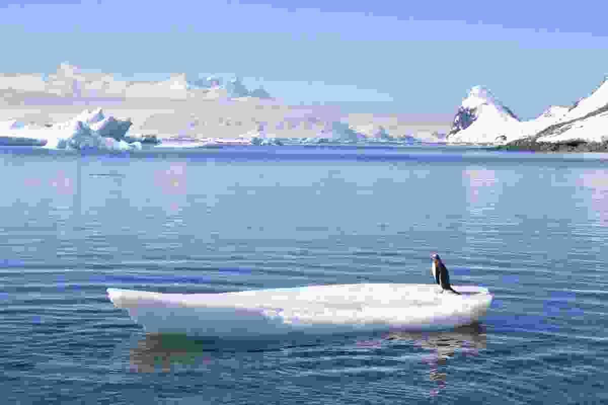 Gentoo penguin on ice 'surfboard', Antarctica (Graeme Green)