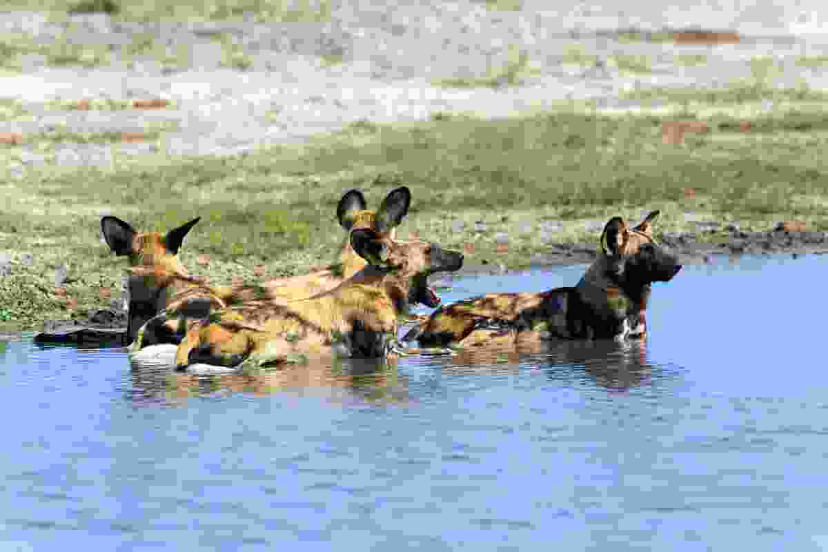 A pack of African wild dogs in Chobe National Park, Linyanti (Dreamstime)
