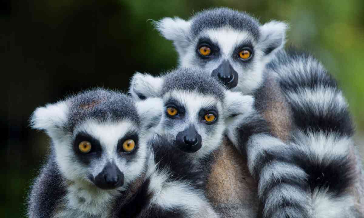 Lemurs in Madagascar (Shutterstock)