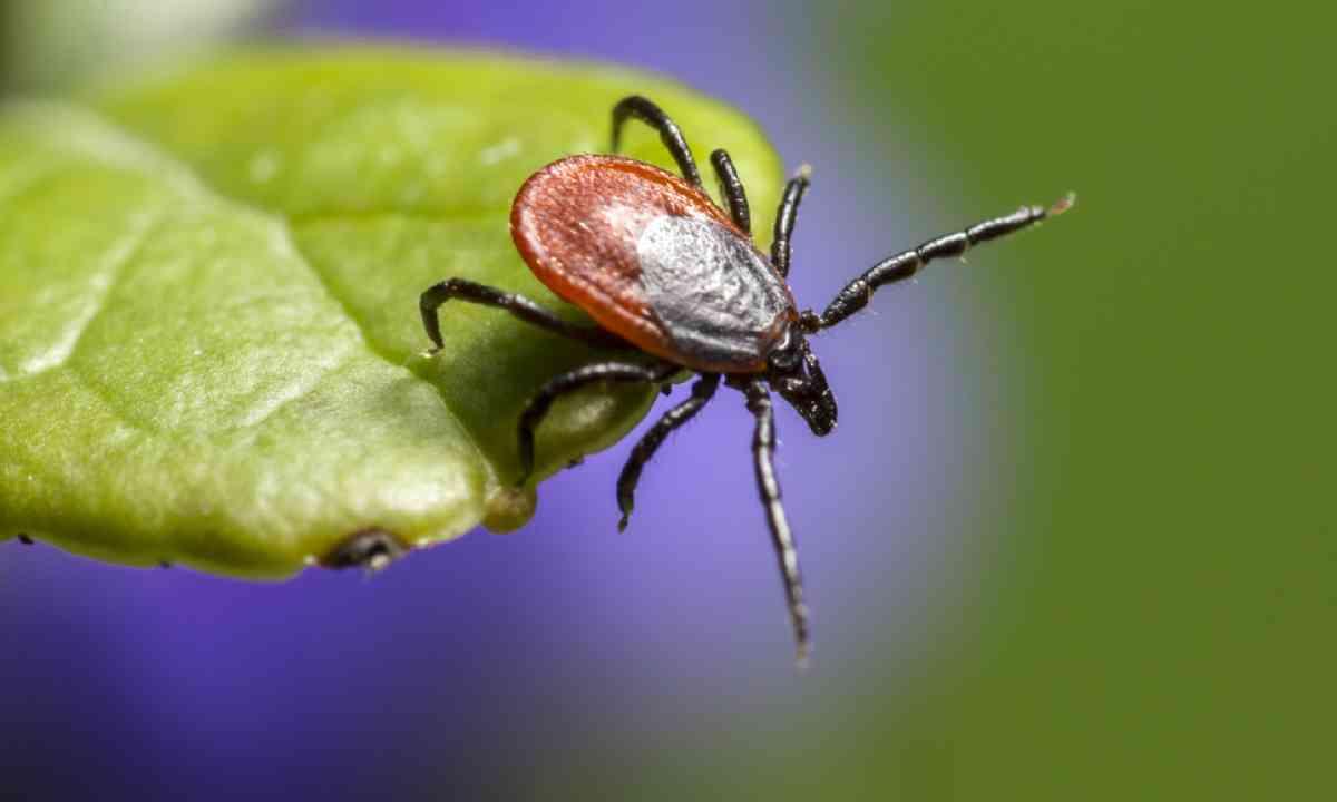 Adult tick (Shutterstock)