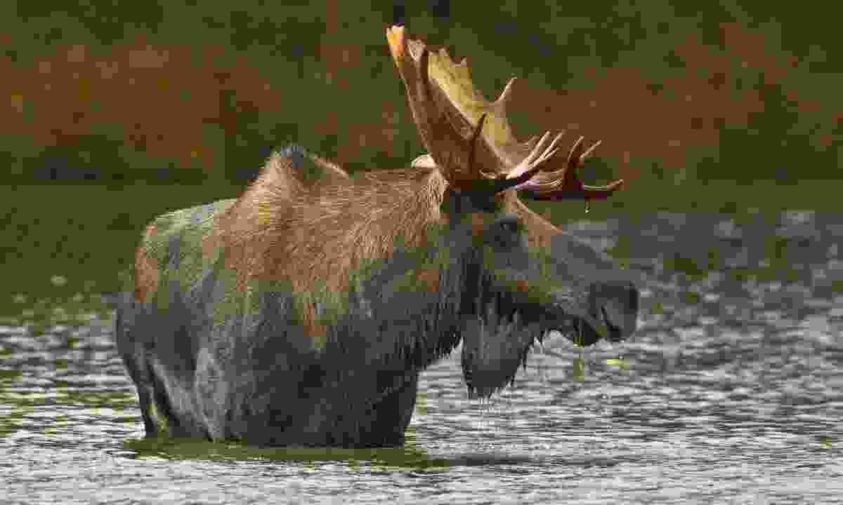 Moose (Shutterstock)