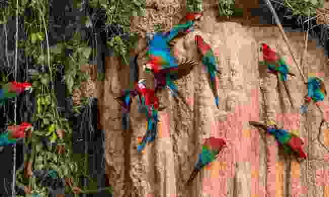 Macaws in Peru (Shutterstock)