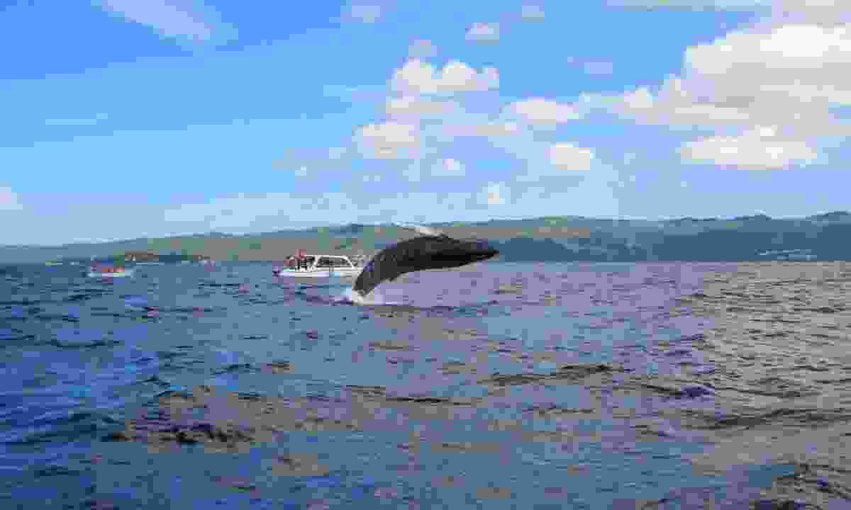 Watch whales at Samana Bay (Shutterstock)