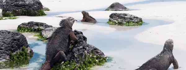 Marine iguanas (Shutterstock)