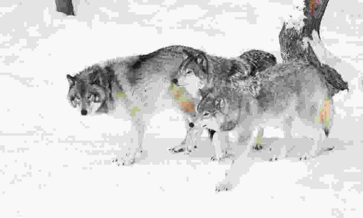 Pack of timber wolves (Dreamstime)