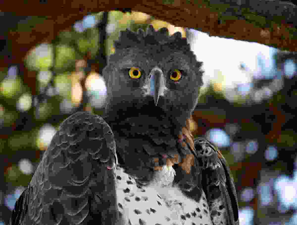 An adult martial eagle is one of the most fearsome, known for being aggressive (Steve Holroyd/Alamy Stock Photo)