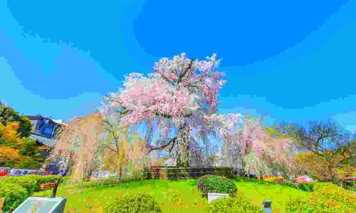 Beautiful Maruyama Park, Kyoto (Shutterstock)