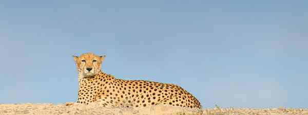 Asiatic cheetahs were reintroduced to Sir Bani Yas Island (Phoebe Smith)