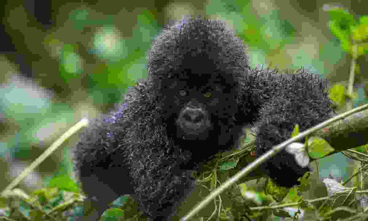 A baby gorilla in Virunga National Park (Shutterstock)