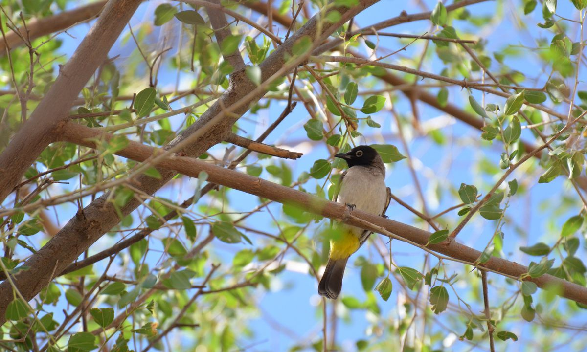 A yellow-vented bulbul (Phoebe Smith)