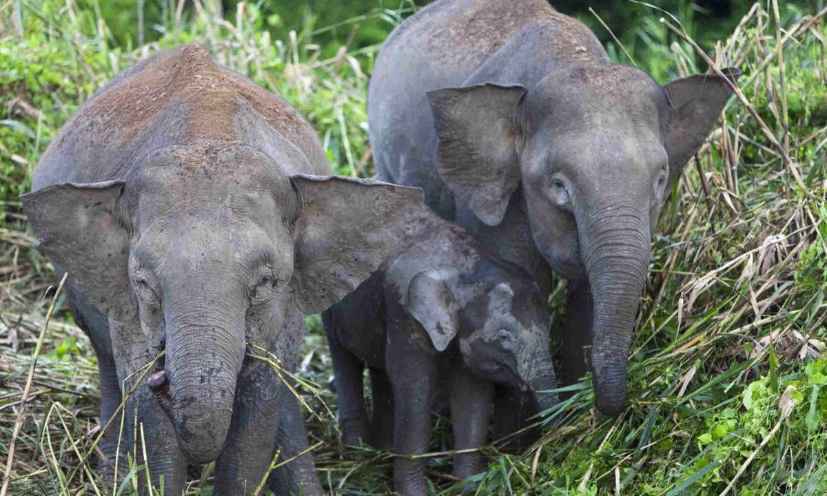Pygmy Elephants on the Kinabatangan River, Borneo (Transindus)