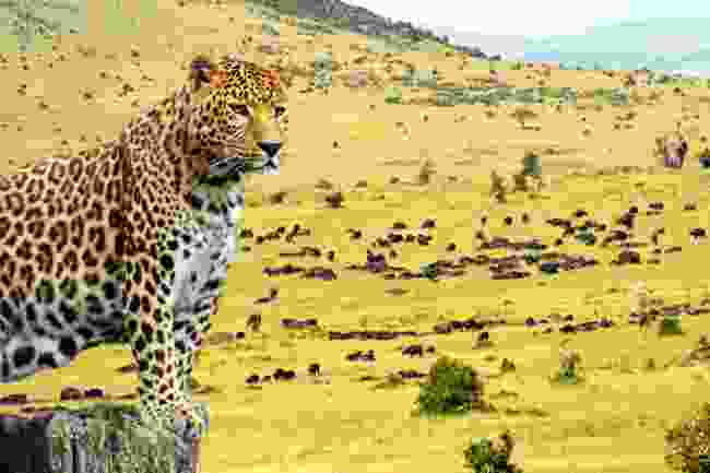 Another stunning leopard sighting at the Masai Mara National Reserve (Dreamstime)