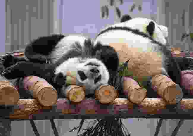 Panda breeding programme (Tin Can Island)