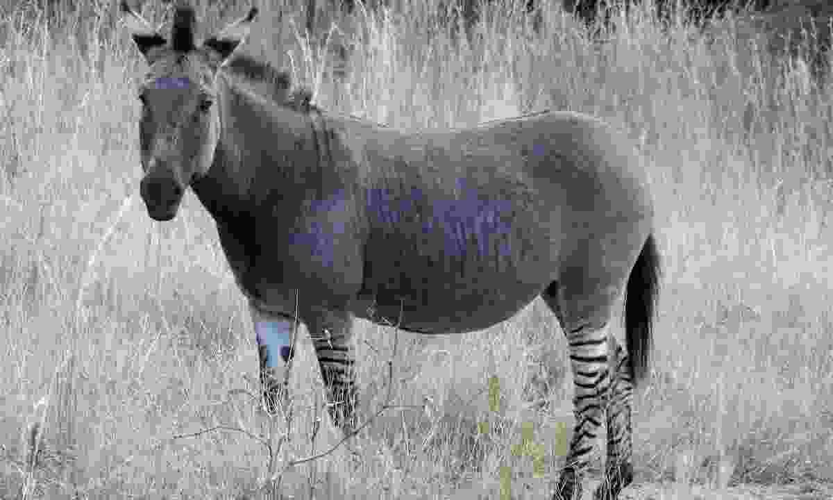A wild zonkey in Zimbabwe (Shutterstock)
