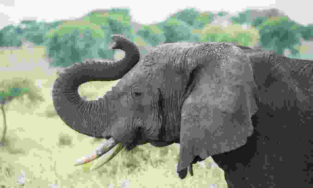 Elephant in Tanzania (Dreamstime)