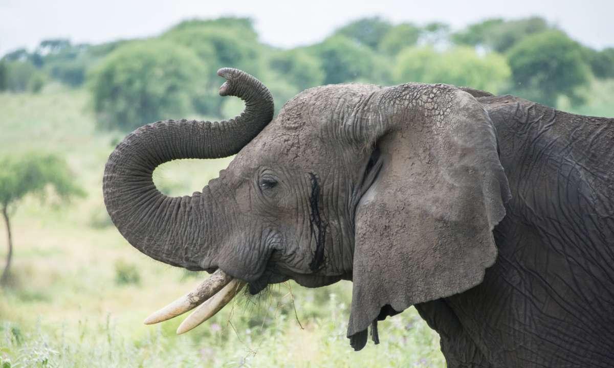 Elephant in Tanzania (Dreamstime)