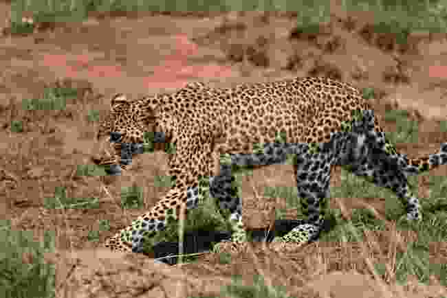 A leopard sighting at Serengeti National Park (Dreamstime)