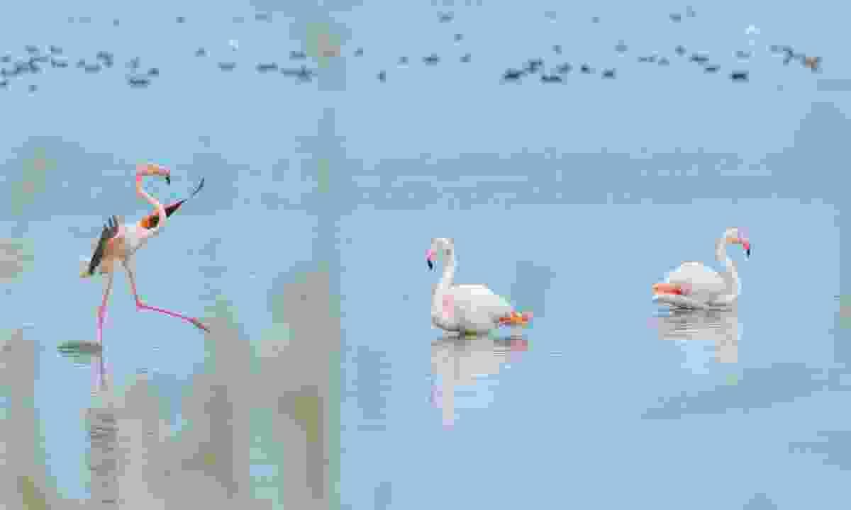 Flamingos on Lake Vistonida