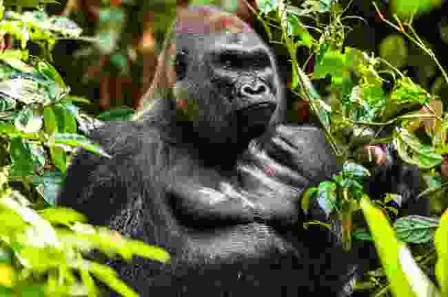 Western lowland male gorilla (Shutterstock)