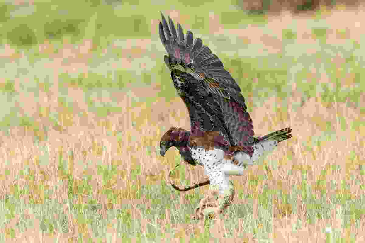 A martial eagle uses lethal talons to subdue the struggles of a Nile monitor lizard (Photononstop/Alamy Stock Photo)