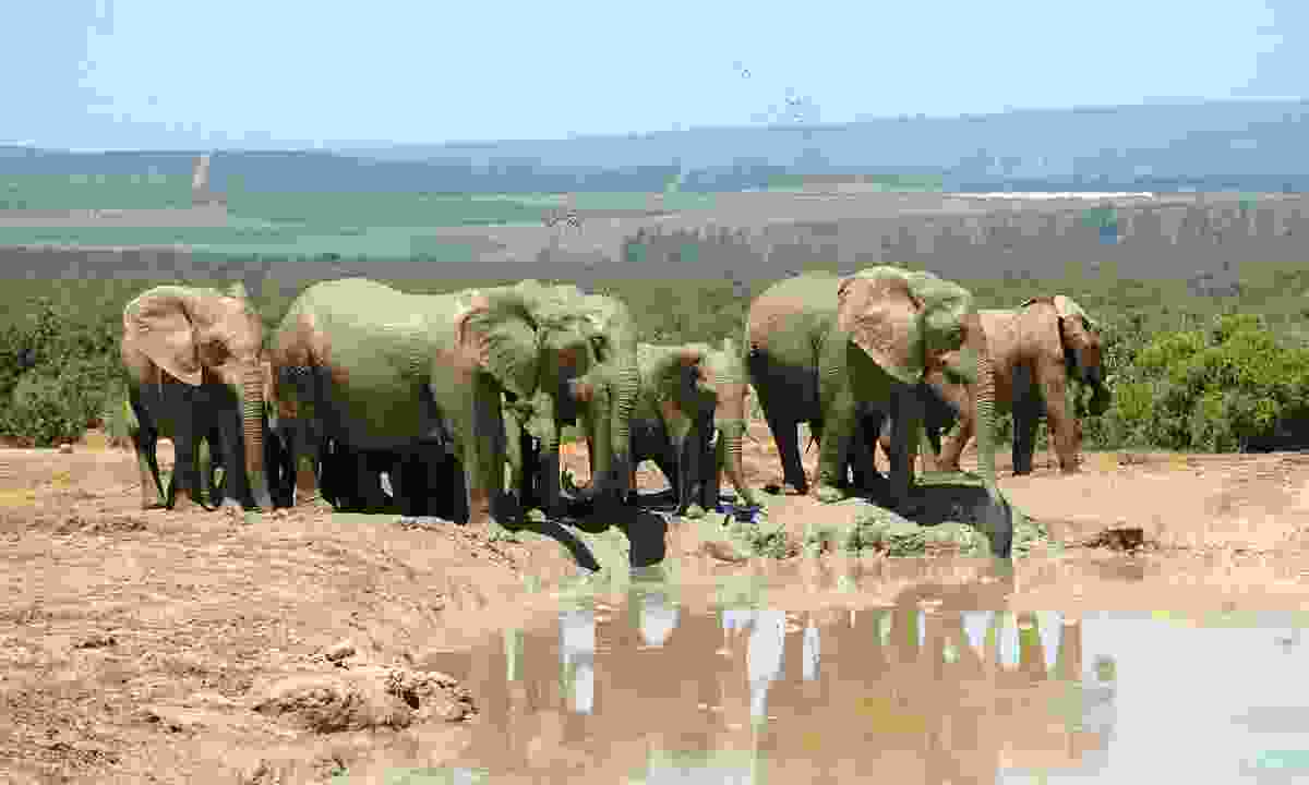 Elephants in South Africa. (Dreamstime)