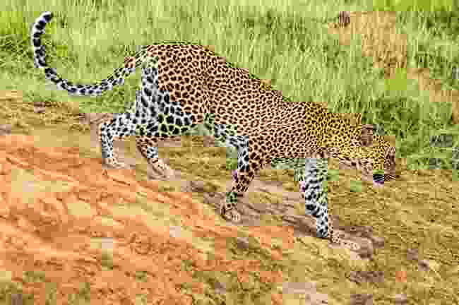A leopard at Samburu National Park, Kenya (Dreamstime)