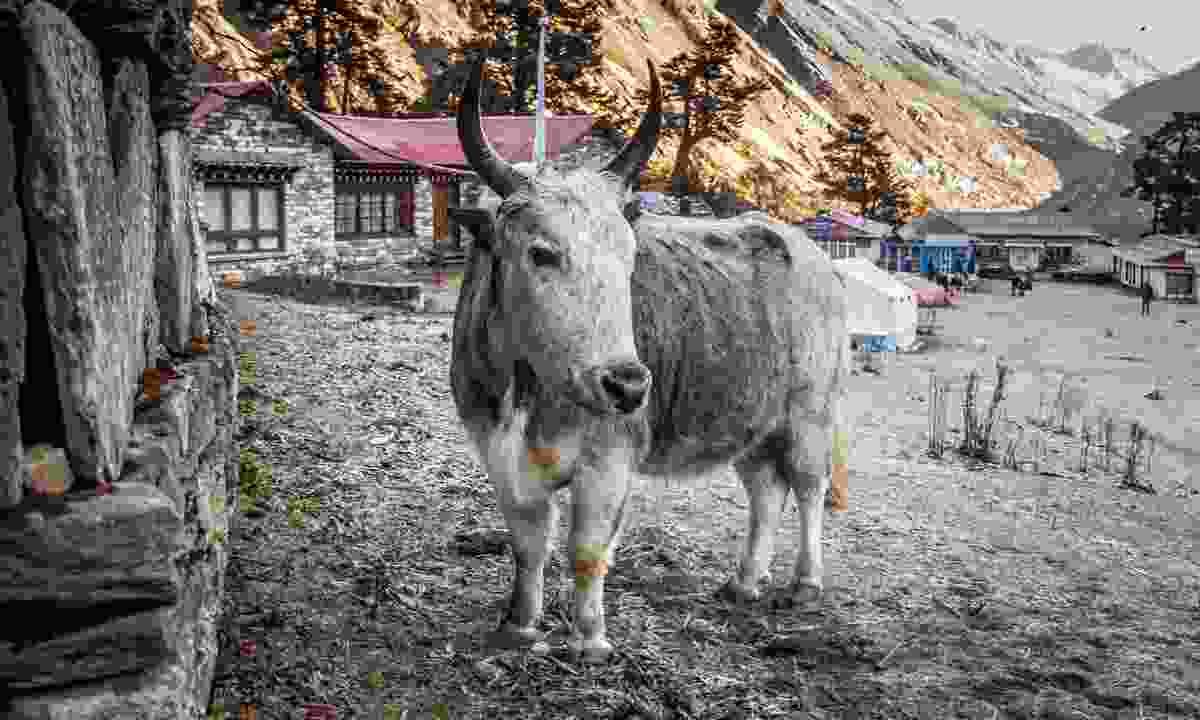 A dzo in Tengboche in Nepal (Shutterstock)